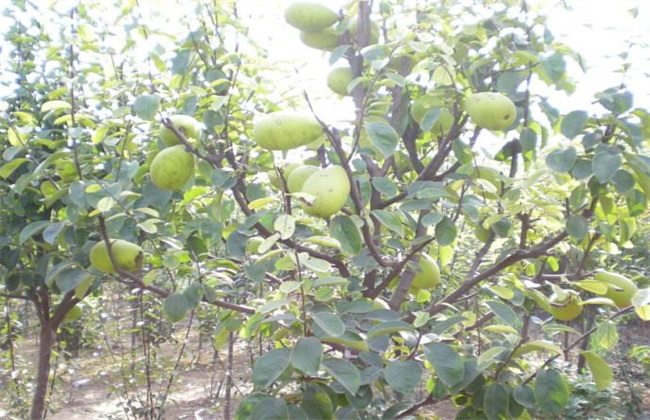 木瓜 种植方法 管理方法
