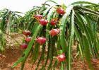 火龙果种子种植方法