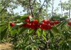 樱桃无公害施肥技术