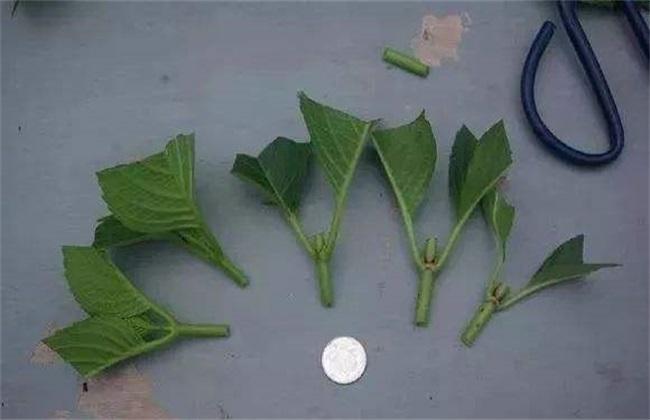 八仙花养殖与注意事项图片