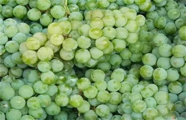 水晶葡萄种植技术