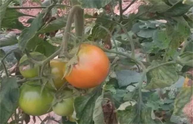 西红柿膨果慢原因及防治方法