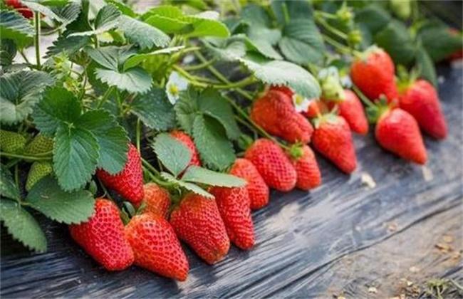 奶油草莓种植技术