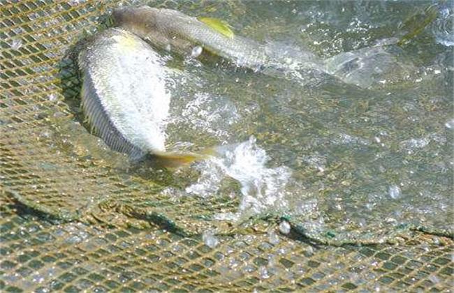 黄花鱼养殖管理