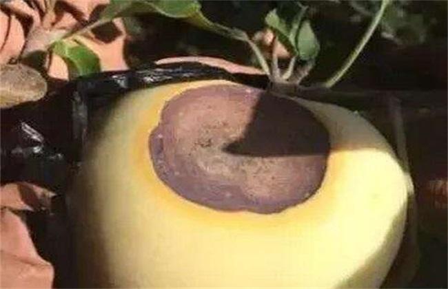 怎样预防苹果日灼病