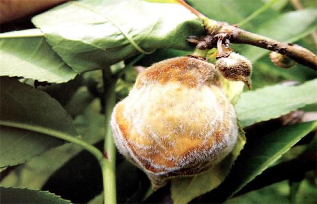 桃子果腐病的防治方法