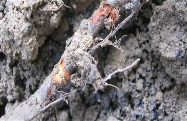 果树烂根原因及防治措施