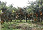 沃柑的种植要求