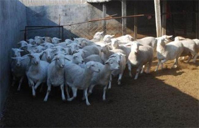 养羊 如何提高 养羊效益