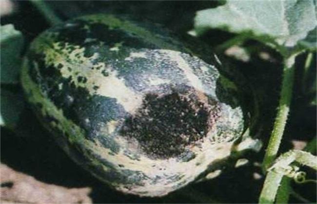 甜瓜黑斑病 防治方法 症状