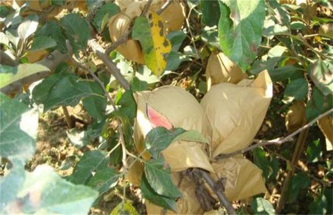 苹果摘袋方法及注意事项