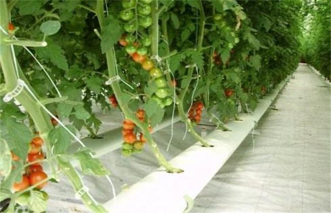番茄水培技术