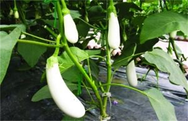 茄子变白的原因及防治方法