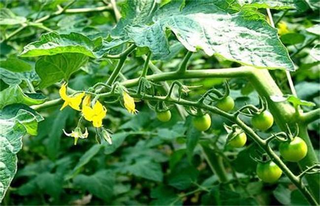 夏季番茄保花保果方法