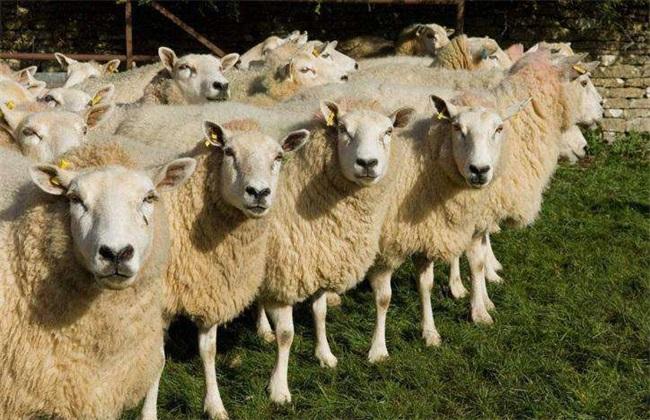 养羊实用技术要点