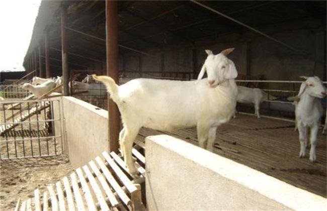 养羊 养羊实用技术 养羊技术
