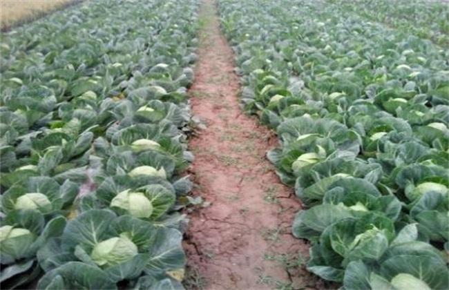 包菜 种植技术 包菜种植