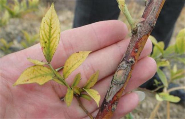 蓝莓常见的病毒性病害防治方法