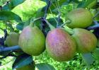 香梨多少钱一斤