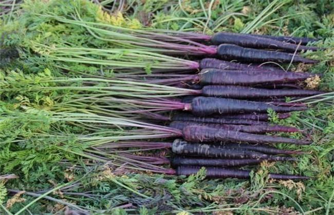 紫胡萝卜 种植技术 种植方法
