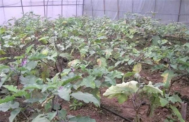 茄子萎蔫死亡 原因 防治方法