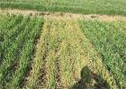 小麦叶面喷肥要点