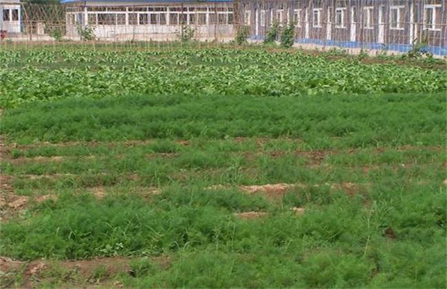 茴香 种植方法 茴香种植