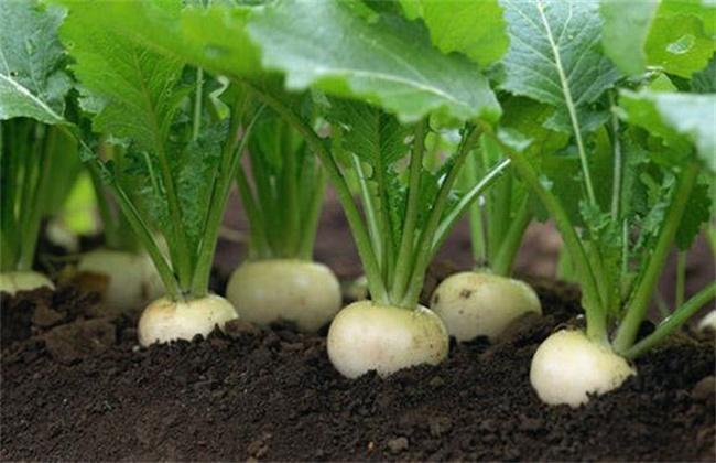 大头菜种植技术