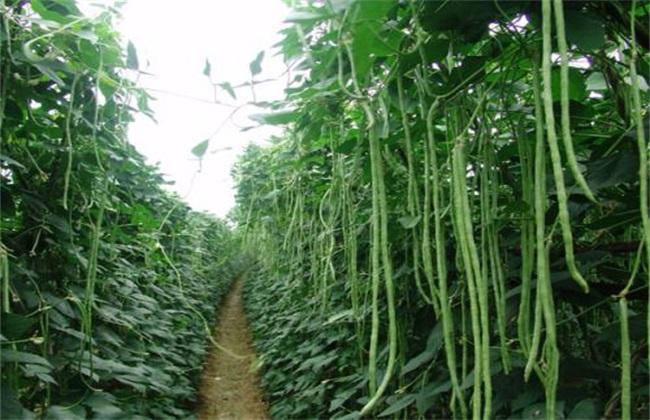 豇豆 高产施肥 种植豇豆施肥