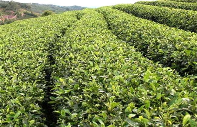 苦丁茶栽培的四大技术要点