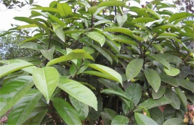 苦丁茶 种植技术 苦丁茶种植