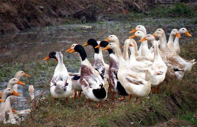 秋季养鸭育肥方法