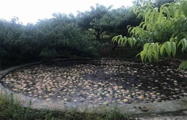 水蜜桃落果原因及防治方法