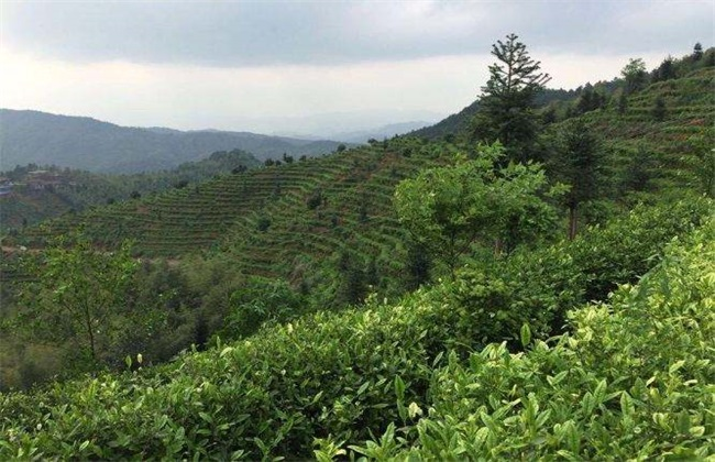 茶树 茶树生长环境 种植要求