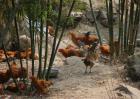 竹林养鸡技术