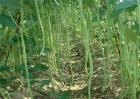 豇豆的高产施肥方法