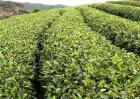 苦丁茶的种植技术