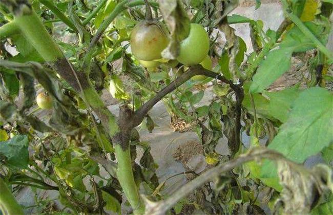 番茄早疫病 防治方法 症状