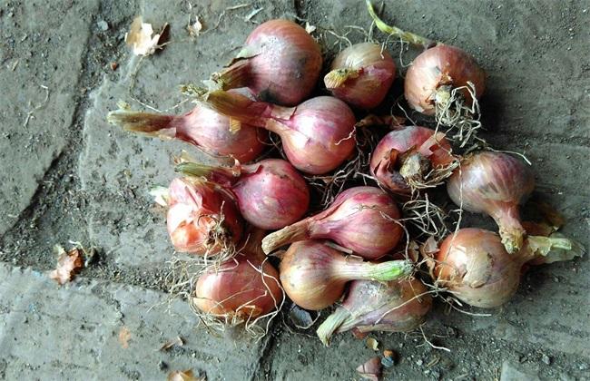 毛葱 种植方法 种植技术