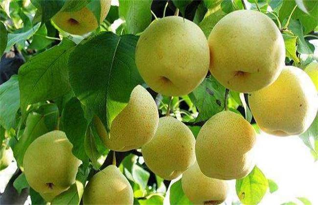 水晶梨种植技术