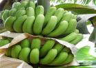 香蕉贮存与催熟技术