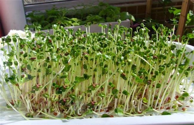 萝卜芽 种植方法 萝卜芽种植