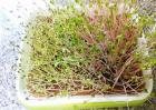 萝卜芽的种植方法