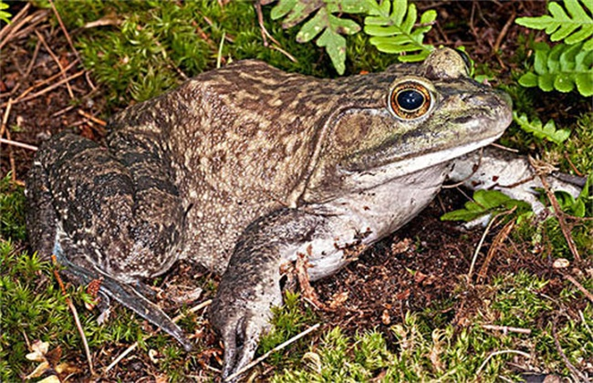 夏季牛蛙管理措施