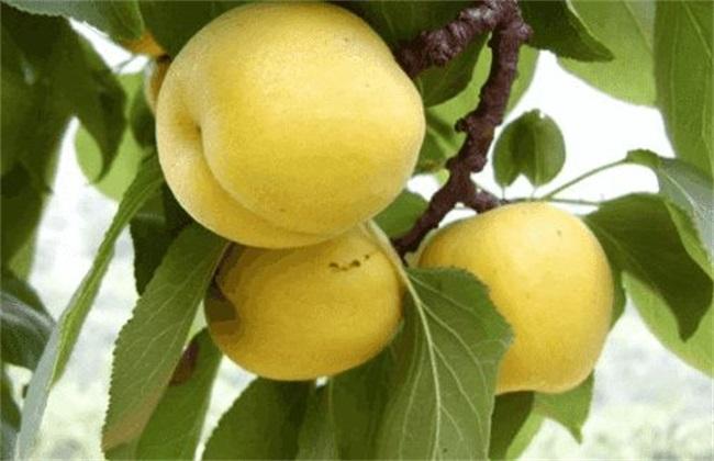 杏子的功效与作用