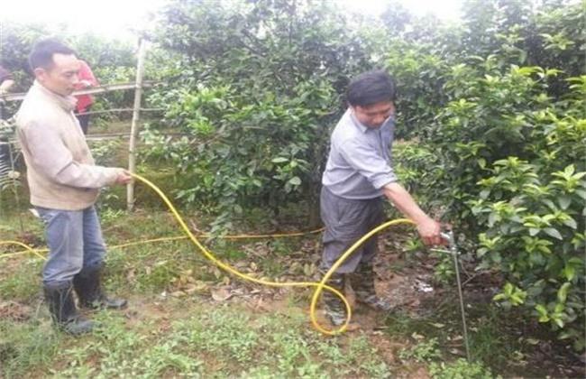 橙子幼树管理技术