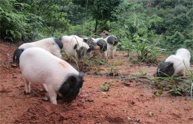 香猪养殖 香猪养殖技术 香猪