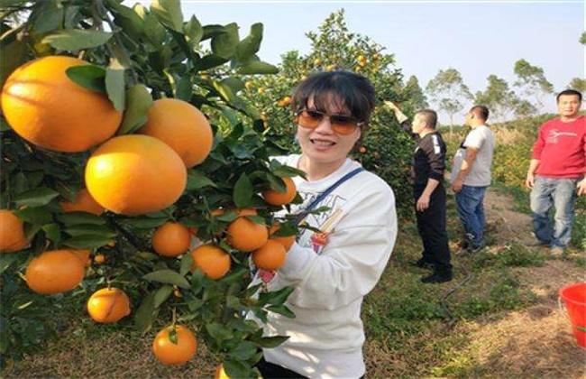 橙子采果后管理技术