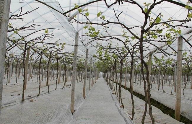 大棚葡萄种植 葡萄种植 葡萄