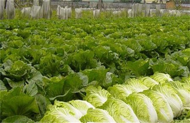 夏季白菜种植管理要点